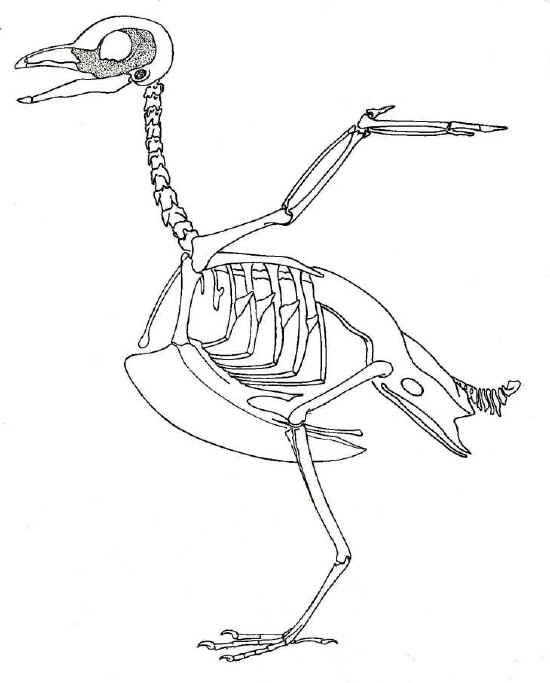 Anatomia degli uccelli